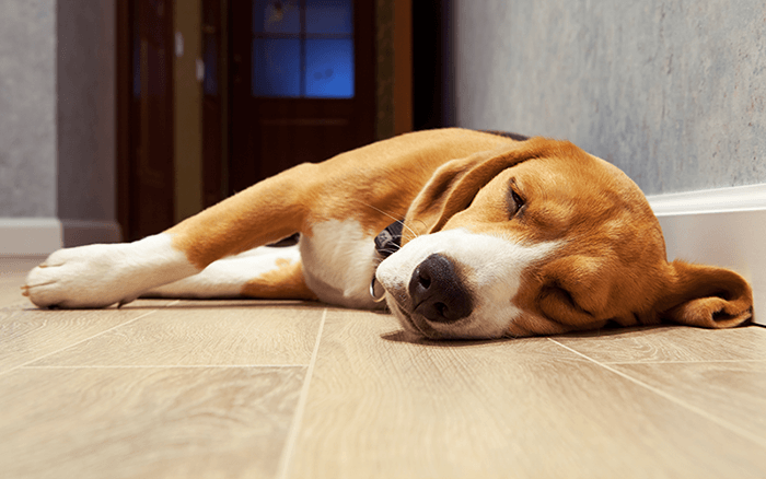 Beagle Dog Laying On Floor Image