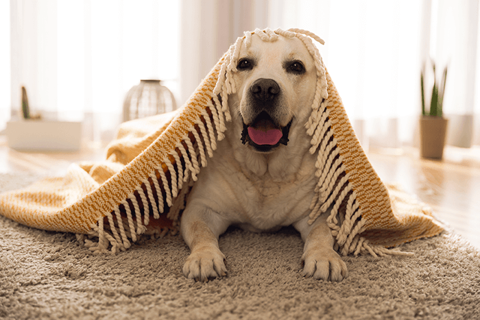 Cream Labrador Laying Underneath Blanket Image